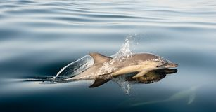 Dolphin, swimming in the ocean Stock Photo