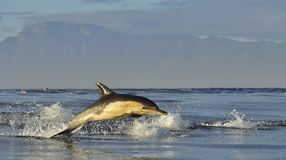 Dolphin, swimming in the ocean. Dolphin swim and jumping from the water. The Long-beaked common dolphin scientific name: Delphinu Stock Photography