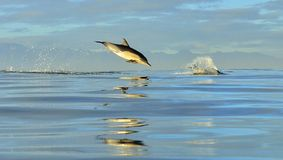 Dolphin, swimming in the ocean. Royalty Free Stock Photography