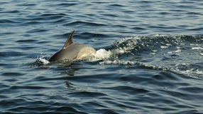 Dolphin, swimming in the ocean and hunting for fish. Dolphins, swimming in the ocean and hunting for fish. The jumping dolphin comes up from water. The Long stock photo