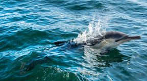 Dolphin, swimming in the ocean Royalty Free Stock Photo