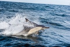 Dolphin, swimming in the ocean and hunting for fish. Dolphins swim and jumping from the water. The Long-beaked common dolphin scientific name: Delphinus royalty free stock photo