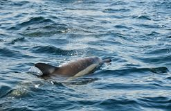 Dolphin, swimming in the ocean and hunting for fish. The jumpin. G dolphin comes up from water. The Long-beaked common dolphin (scientific name: Delphinus stock photography