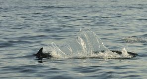 Dolphin, swimming in the ocean and hunting for fish. The jumpin. G dolphin comes up from water. The Long-beaked common dolphin (scientific name: Delphinus stock images