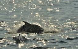 Dolphin, swimming in the ocean  and hunting for fish. The jumpin Stock Image