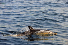 Dolphin, swimming in the ocean and hunting for fish. The jumping dolphin comes up from water. The Long-beaked common dolphin (scientific name: Delphinus royalty free stock image