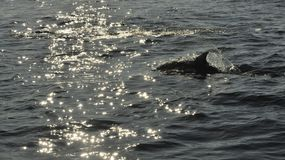 Dolphin, swimming in the ocean  and hunting for fish. Royalty Free Stock Photo
