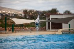 Dolphin Swimming and Playing. Diving in water royalty free stock photo