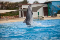 Dolphin Swimming and Playing. Enjoying Water stock images