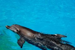 Dolphin swimming. A dolphin swimming in a pool of water Stock Images