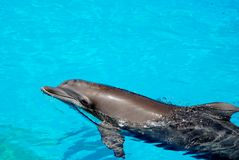 Dolphin swimming. A dolphin swimming in a pool of water Royalty Free Stock Images