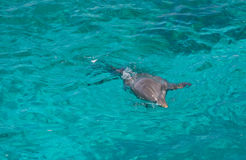 Dolphin swimming in the sea. Grey dolphin swimming in clear turquoise sea water Royalty Free Stock Images