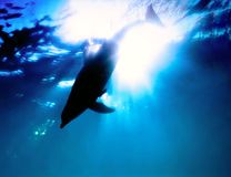 Dolphin swimming in the sea Royalty Free Stock Image