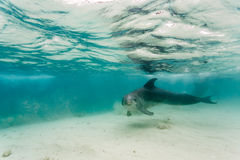 Dolphin swimming in shallow waters in Caribbean stirs up sand as he passes by Royalty Free Stock Images