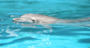 Dolphin. A dolphin swimming on the surface Royalty Free Stock Image