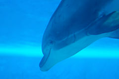 Dolphin swimming underwater Royalty Free Stock Photography