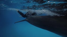 Dolphin swimming underwater together trainer in floating pool in dolphinarium. Trainer and dolphin swimming in blue water in dolphinarium pool underwater view stock video footage