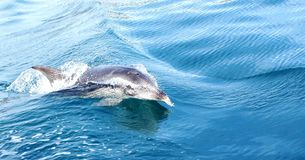 Dolphin Swimming in Water off Tasmania Stock Photo