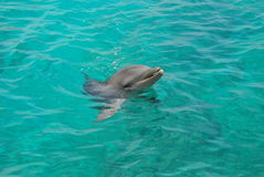 Dolphin. This dolphin swims along the coast of Curacao Stock Image
