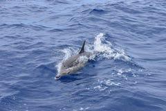 Dolphin swims in the Atlantic Ocean. Taken near Madeira royalty free stock photo