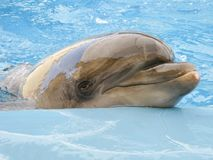 Dolphin in the pool. Dolphin swims in the pool in blue water Royalty Free Stock Photo