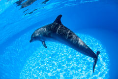 Dolphin swims under the water Royalty Free Stock Image