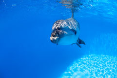 Dolphin swims under the water Stock Photos