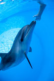 Dolphin swims under the water Royalty Free Stock Photography