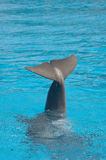 Dolphin tail Royalty Free Stock Images