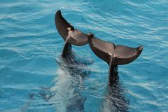Dolphin Tail Fins. Tail flukes of bottlenose dolphins sticking out of the water Stock Photo