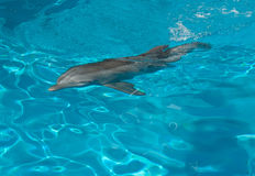 Dolphin Without Tail Royalty Free Stock Photography