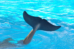 Dolphin tail in water. A view of the end of the tail of a dolphin extending above the surface of the water Stock Photos