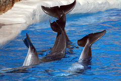 Dolphin tails Stock Photo