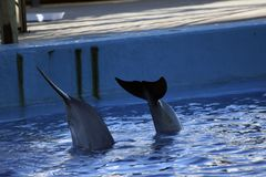Dolphin tails in the aquarium stock images
