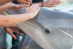 Dolphin Touch. A Bottlenose Dolphin at SeaWorld San Diego, who swam over to some onlookers of her own accord for some interaction Stock Photography