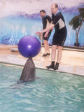 Dolphin trainer brought the ball Stock Image
