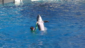 Dolphin trainer slow motion stock video footage