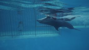 Dolphin with trainer swimming in floating pool in dolphinarium underwater view. Dolphin together trainer swimming in floating pool in dolphinarium underwater stock video footage