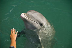 Dolphin Training Royalty Free Stock Images