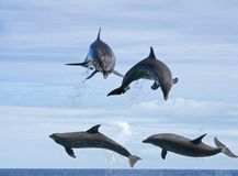 Dolphin Training. Dolphins are so intelligent that eveyone is training them, but what makes people think dolphins are only learning what WE want them to learn Stock Image