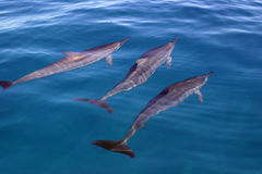 Dolphin Trio. Three dolphins off the coast of Kauai, Hawaii Stock Images