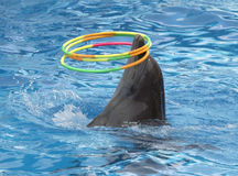 Dolphin turns hoops Royalty Free Stock Image