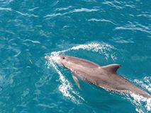 A dolphin in turquoise seas. A dolphin swimming in beautiful turquoise seas in the South Pacific Stock Photo