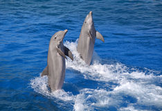 Dolphin. Two dolphin jumping and swimming Stock Image