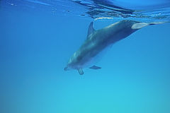 Dolphin under water Royalty Free Stock Photo