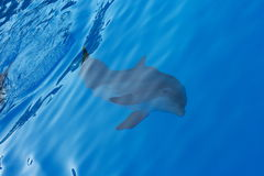 Dolphin under water Stock Photography
