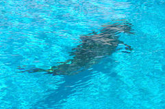 Dolphin underwater Stock Photography