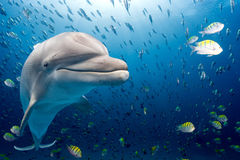 Dolphin underwater on blue ocean background. Dolphin underwater on ocean background looking at you Royalty Free Stock Photography