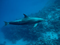 Dolphin underwater IV Royalty Free Stock Image