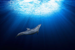 Dolphin underwater Stock Images